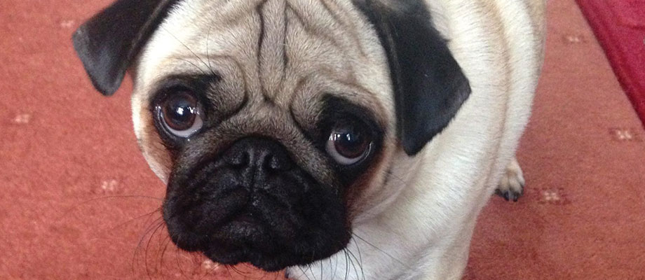 Pug's Adorable Eyes and Eye Problems
